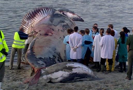 Dode walvis aangespoeld in Antwerpse haven (foto)