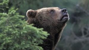Bruine beer doodt zijn vrouwtje in dierentuin
