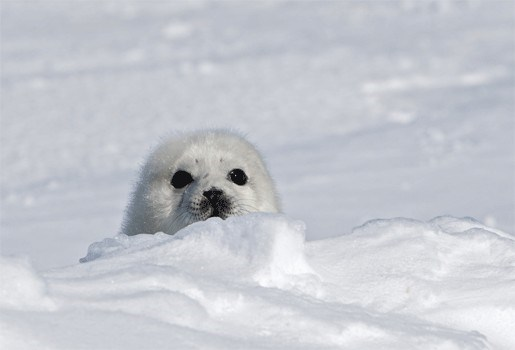 Gebrek aan ijs doodt zeehondenpups nog voor jagers