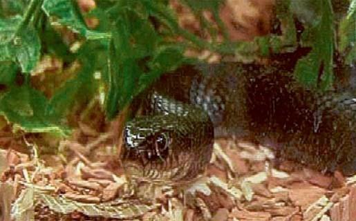 Werknemers houthandel Van Acker ontdekken agressieve slang