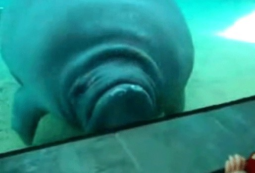Zeekoe plet neus tegen venster (video)