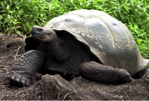 Reuzenschildpadden keren terug naar Galapagoseiland