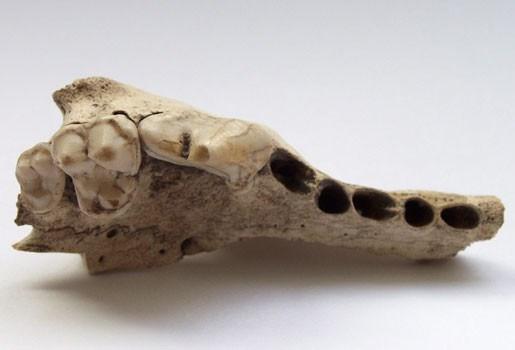 's Werelds oudste hondenbeen