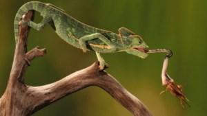 Nieuwe kameleonsoort 'Tarzan' ontdekt in Madagascar