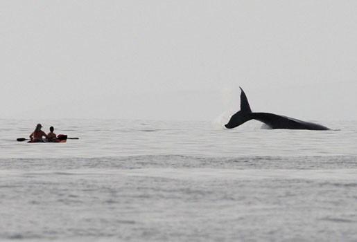 Walvis zwemt kwart van de aardbol af