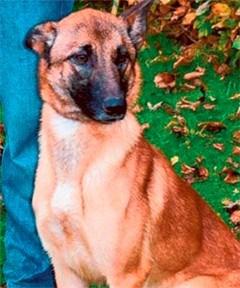 Amerikanen betalen tienduizenden euro's voor Mechelse herdershonden
