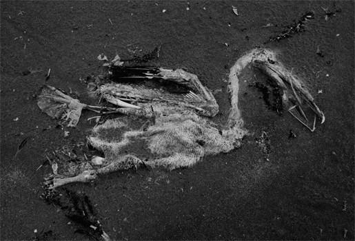 Zesduizend vogels overleefden olieramp Golf van Mexico niet