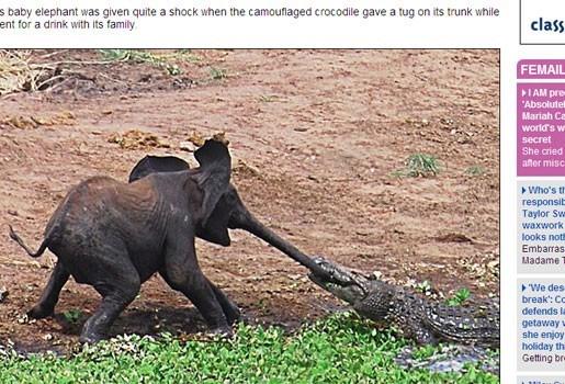 Krokodil grijpt olifantje bij slurf