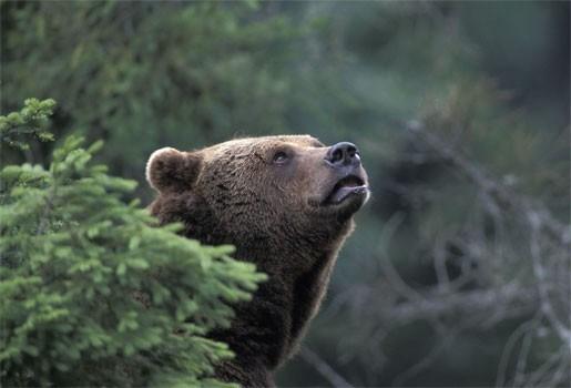 Hongerige beren graven lijk op in Rusland
