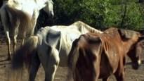 Meer meldingen over verwaarloosde paarden