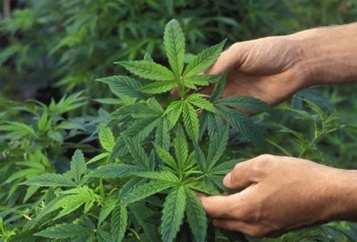 Steeds meer Belgen kweken thuis cannabis