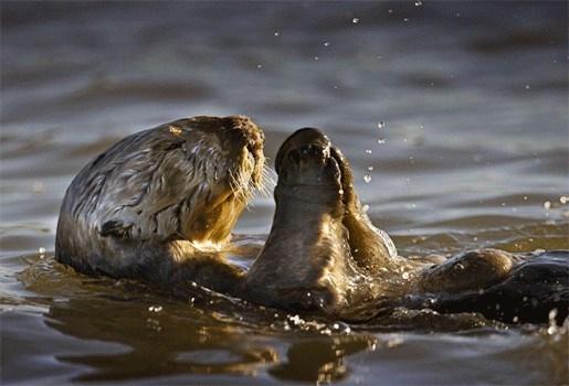 De otter is uitgestorven in Vlaanderen
