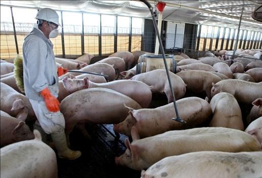 Varkensgriep rukt op naar België