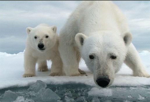 IJsberen hebben hoogste concentratie gif in bloed