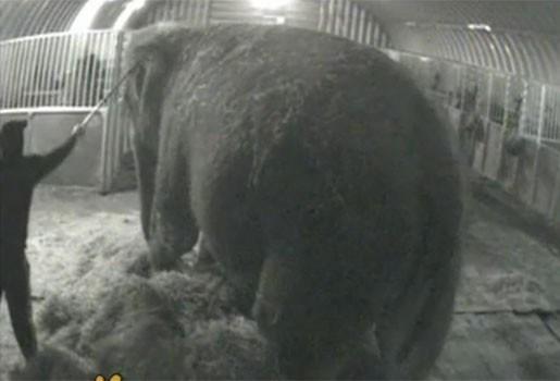 Mishandelde olifant Anne gered uit circus
