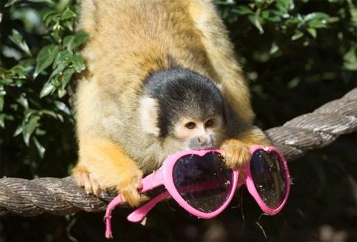 Aapjes London Zoo stelen massaal zonnebrillen
