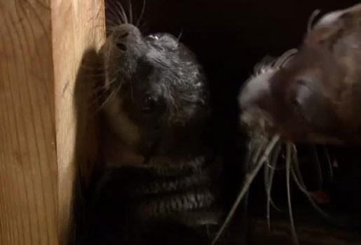 Zeeleeuw geboren in Boudewijn Seapark (video)