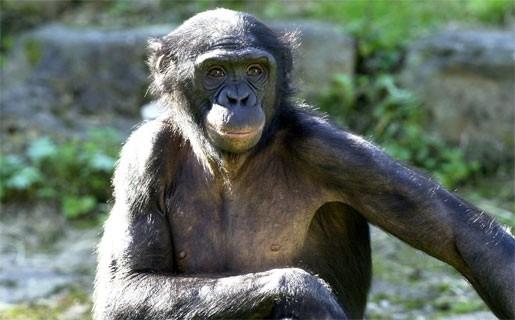 Mechelse Bonobo's te sterk voor Antwerp Chimps
