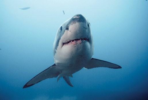 Verdwenen Australiër is de derde die opgegeten werd door haai