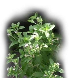 Extract van stevia mag als zoetstof in uw voedsel