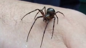 Gewone grottenspin is 'Europese spin van het jaar'