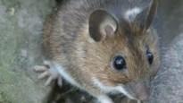 Voor het eerst levende en jonge 'grote bosmuizen' gespot in Vlaanderen