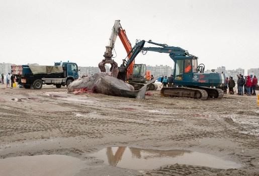Aangespoelde potvis Theofiel van strand Heist gehaald