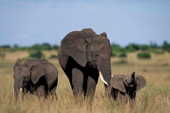 Meer dan 100 dode olifanten in nationaal park Kameroen