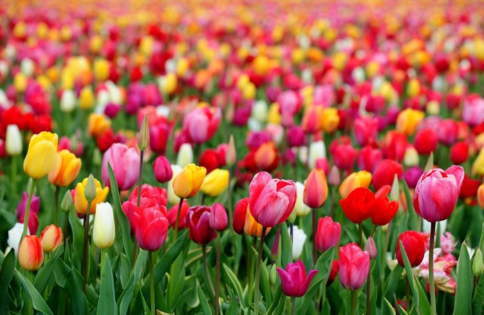 Gratis tulpen al in bloei
