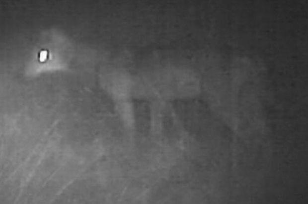Wolf uit 'Dieren in Nesten' mogelijk afgeknald in Koblenz