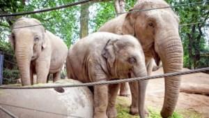 Antwerpen verwacht eerste nieuwe olifant op 6 juli