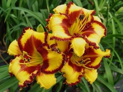 Daglelies bloeien een week vroeger dan normaal