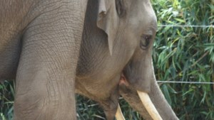 Halfbroer Kai-Mook aangekomen in Antwerpse zoo