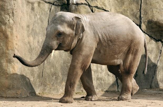Tweede olifantenstiertje in de ZOO