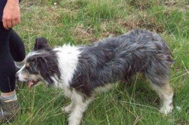 Schapendrijfster zoekt verloren gelopen hond