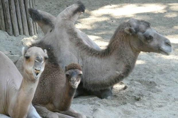 Zoo neemt afscheid van kameel Sarah