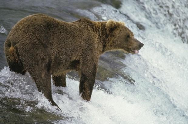 Grizzlybeer doodt 24-jarige man in Amerikaans park