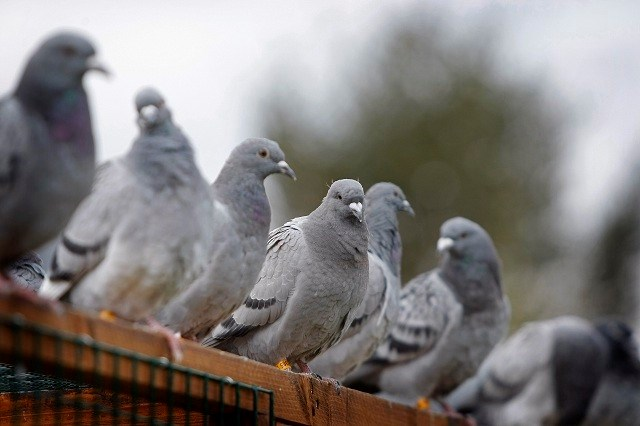 Vrouw krijgt monsterboete voor voederen duiven