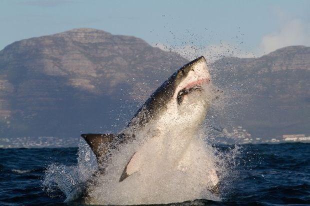 Californische wet beschermt witte haaien