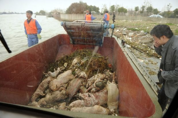 Meer dan 13.000 varkens uit Chinese rivier gevist