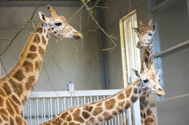 Zwangere Ghonda krijgt als eerste giraf echografie