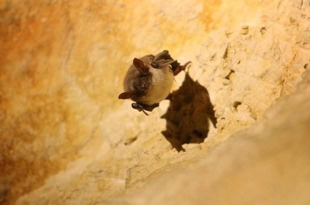 Vorselaar krijgt eerste vleermuizentoren in België