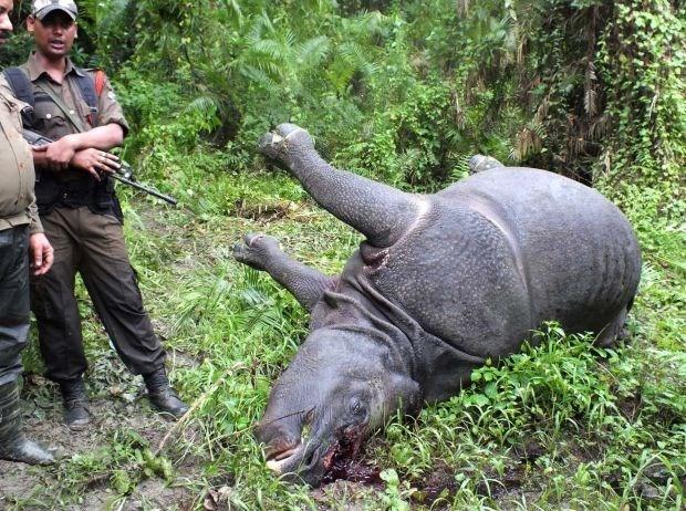 Stropers doodden dit jaar al meer dan 600 neushoorns in Zuid-Afrika