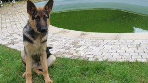 Nick Nuyens redt pup van verdrinkingsdood