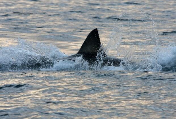Opnieuw dodelijke haaienaanval voor kust Hawaii