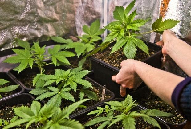 18 maanden cel voor het runnen van een cannabisplantage met 'plukdames'