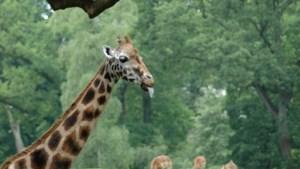 Gezonde giraf uit zoo van Kopenhagen afgemaakt