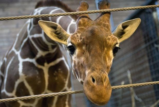 Directeur van Deense zoo krijgt zware kritiek voor gedode giraf