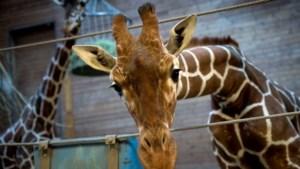Slachting dreigt nu ook voor tweede Deense giraf