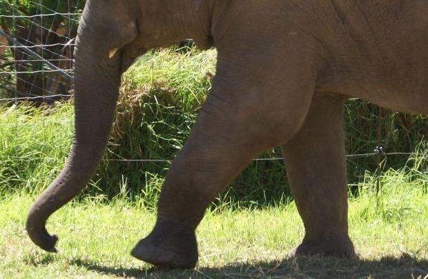 Gewonde olifant doodt drie mensen in Oeganda